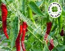 daun cabe besar, manfaat, khasiat, obat, herbal, alam, tipes, sakit gigi, luka, bisul