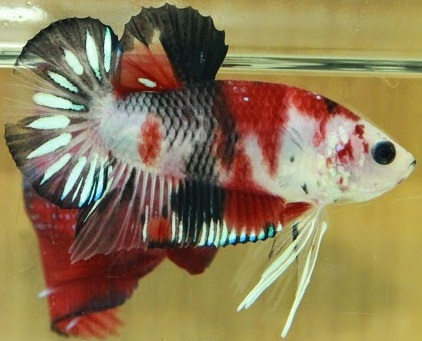 Joe 39 s aquaworld for exotic fishes mumbai india 9833898901 for Bulk koi for sale