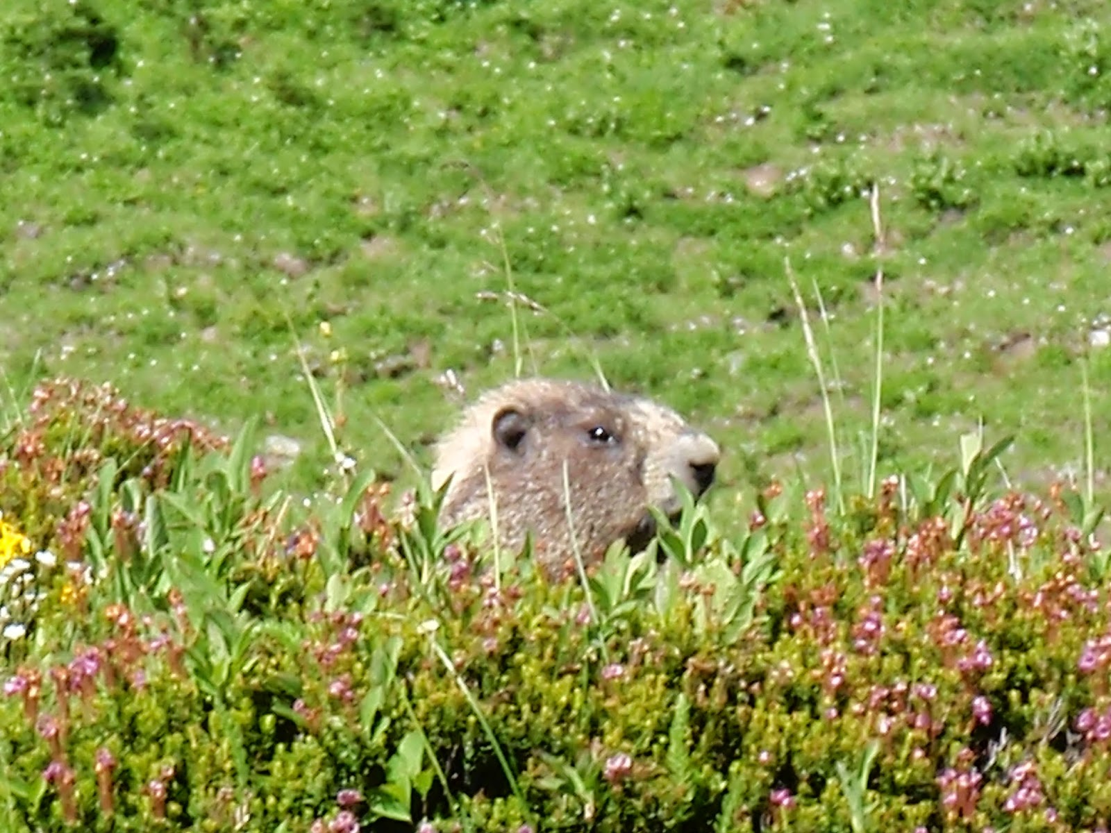 Marmots all over the place, this one was hiding out along the trail. @ Glacier Peak Wilderness