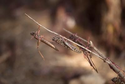Locusts in Israel