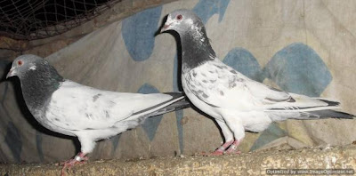 pigeon wallpapers