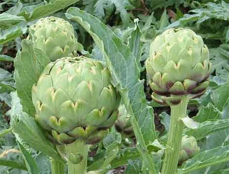 Benefits And Nutrition Of Artichoke For Health