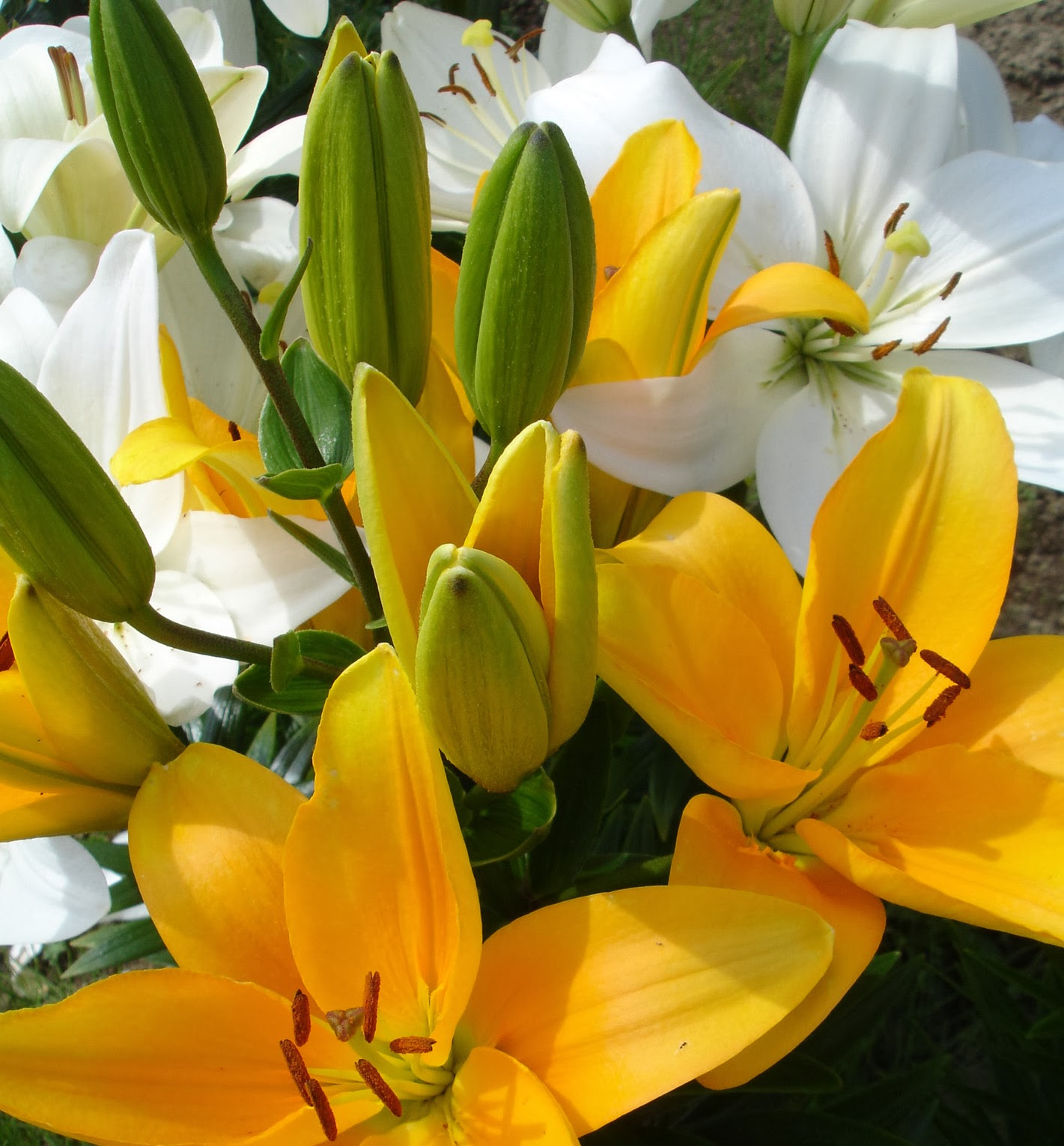Bd lilies garden blog lily bulbs for sensitive noses antequera plus an unidentified white asiatic izmirmasajfo