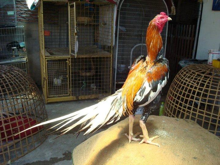 dari penampilan ayam aduan adalah warna bulunya warna bulu ayam