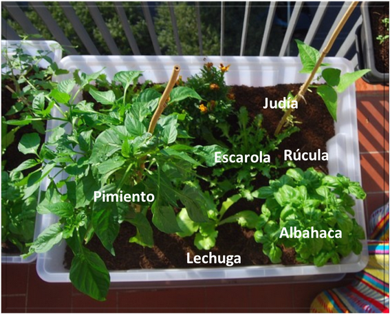 en la ucnurseryud tenemos creciendo otro tipo de ensalada tomate y pimiento