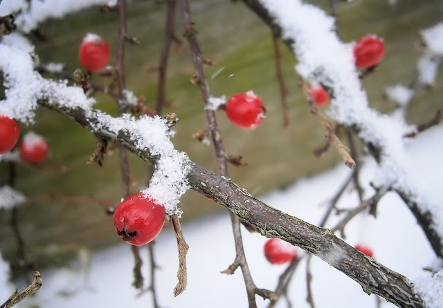 Winter red berries covered in snow