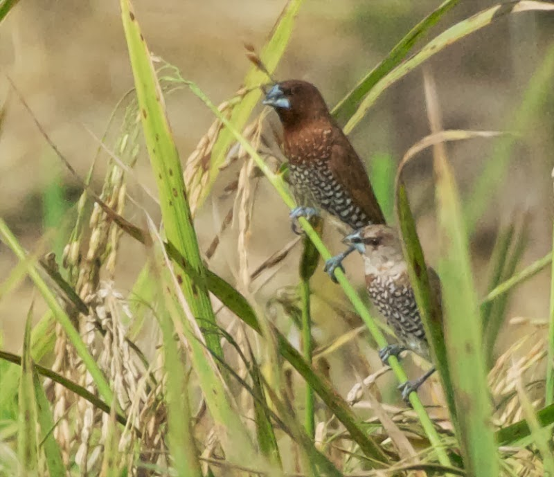 Scaly-breasted Munias (Lonchura punctulata)