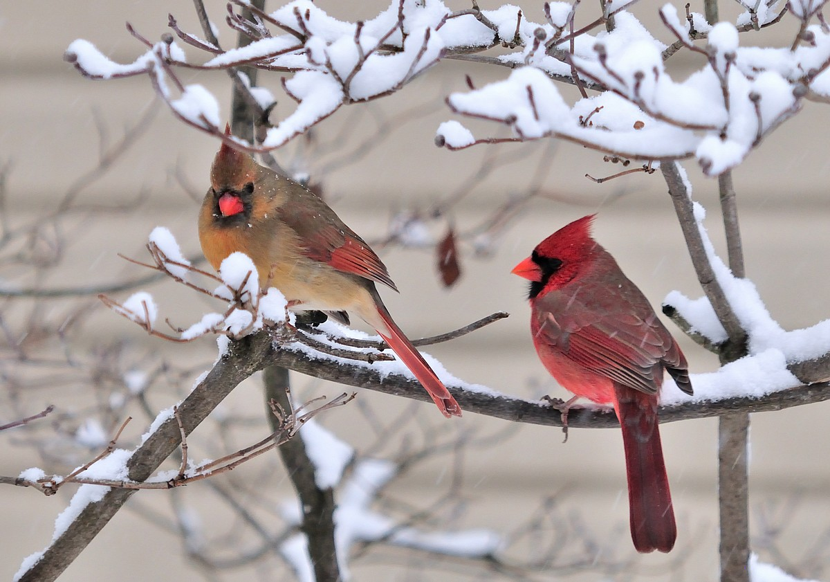 Cathy's Craft Corner: Cardinals in the snow..( I mean rain)