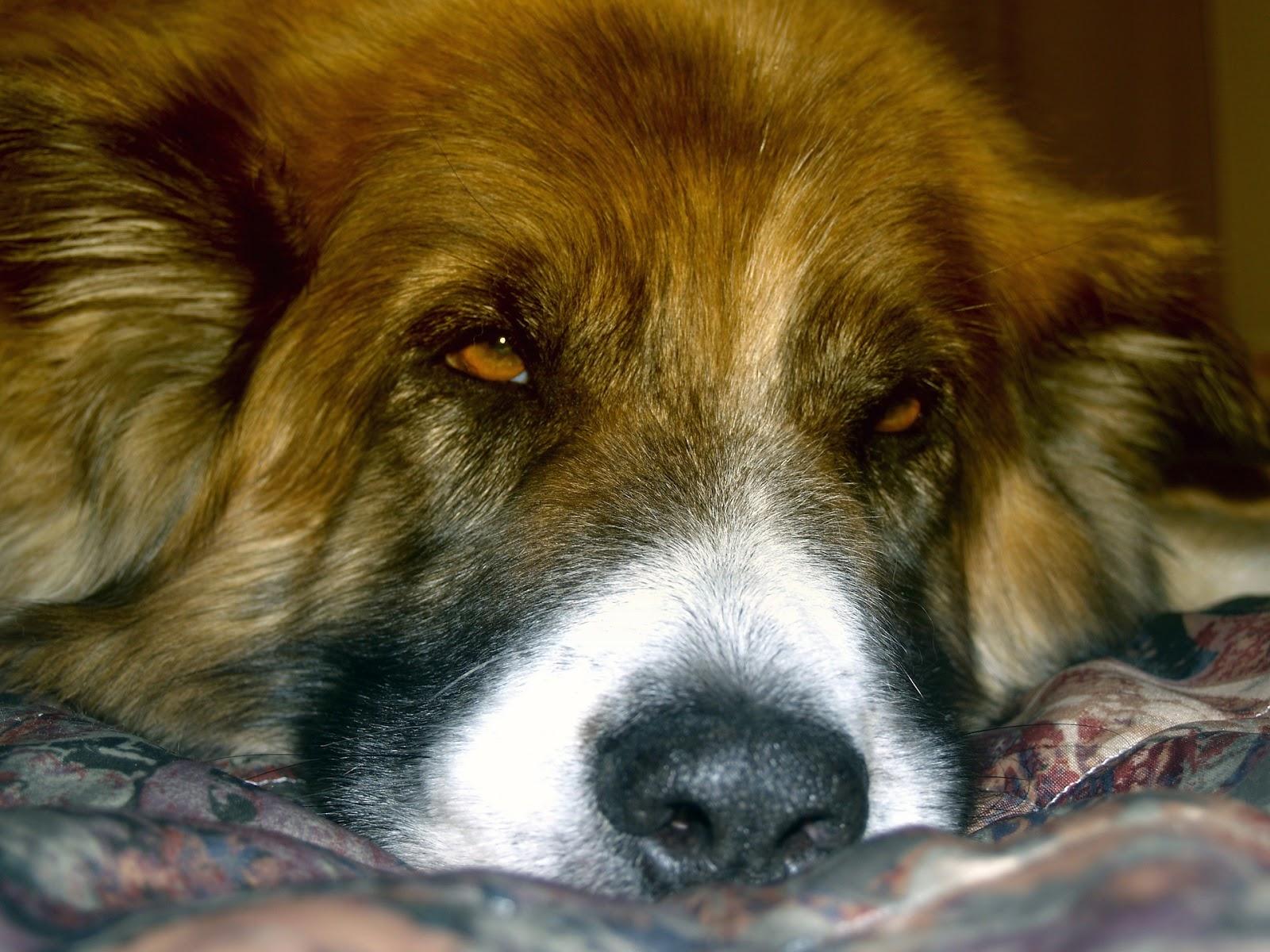 Hond slaapt om mat