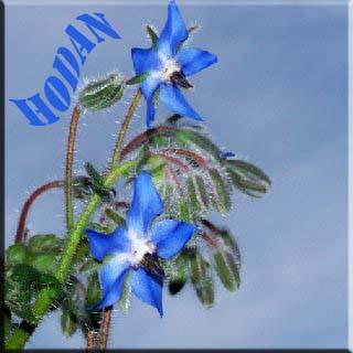 hodan yağı hodan yağı faydaları hodan bitkisi honda çiçek çay hodan otu hodan yağının faydaları