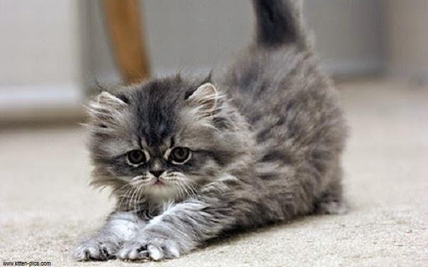 Jolie Photo chaton gris
