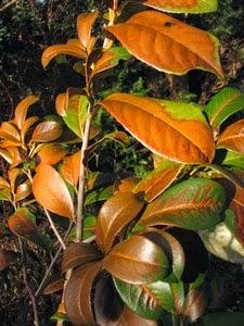 Mon arbre le de vivre le douaire tout savoir sur laurier cerise laurier palme laurier - Haie de laurier palme ...