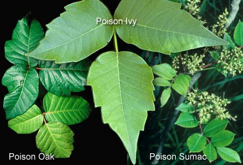 poison oak rash vs poison ivy. poison sumac rash images.