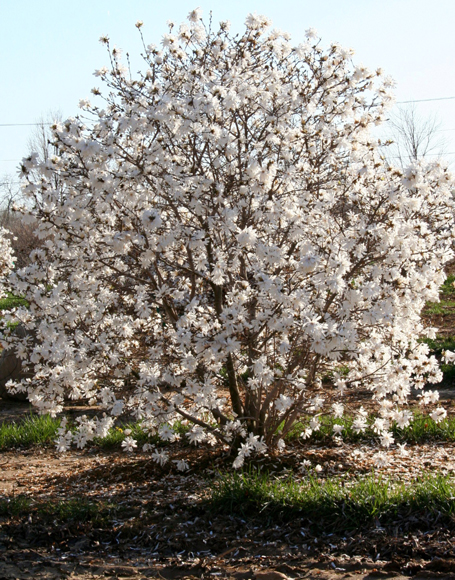 plant inventory magnolia stellata star magnolia. Black Bedroom Furniture Sets. Home Design Ideas