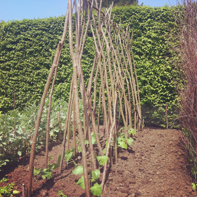 allotment, growing beans, bean supports, vegetables, kitchen garden