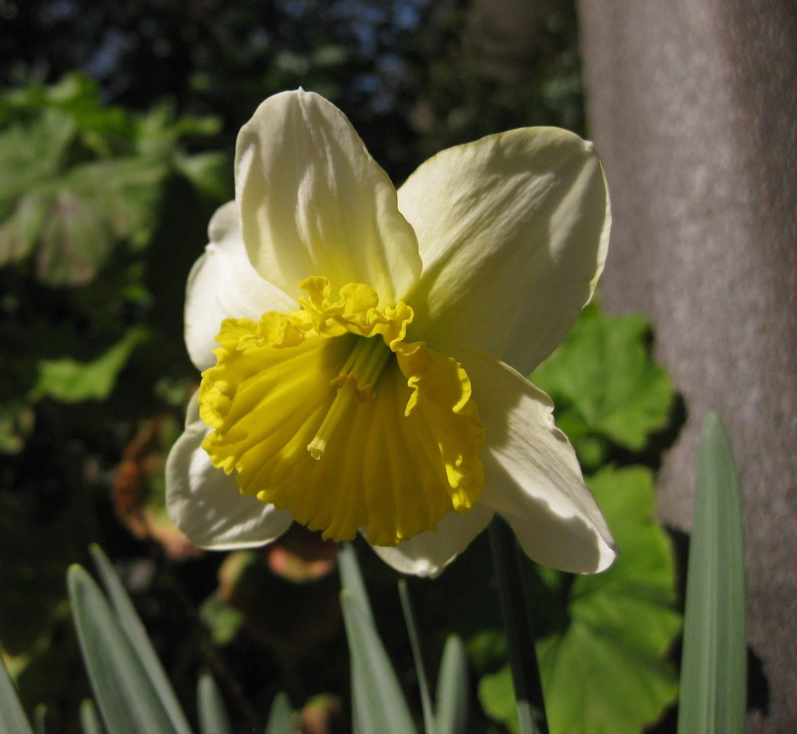 Growing A Garden In Davis Blue Daffodil
