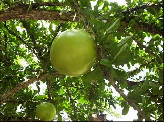 buah-maja