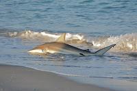 Carcharhinus Brevipinna - Spinner Shark