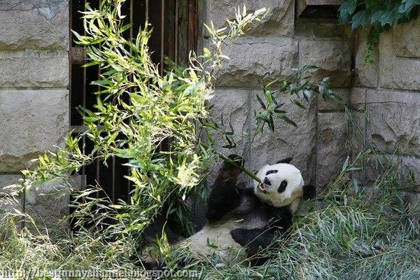 Panda at dinner