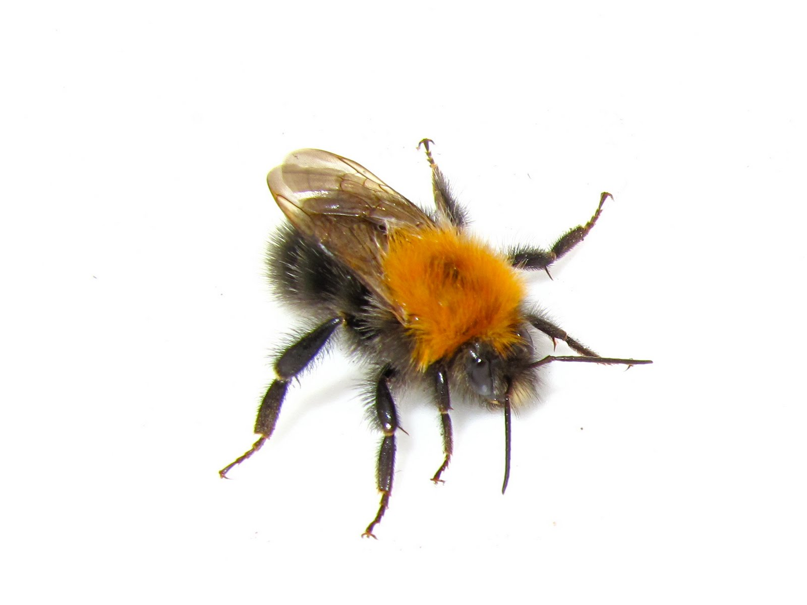 Can A Bumble Bee Sting Hurt A Dog