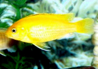 lemon Freshwater Tropical Fish Species