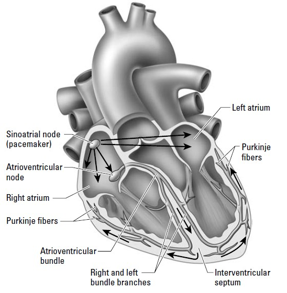 Anatomy Made Easy Conduction System Of Heart