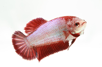 Betta Fish Plakat  female