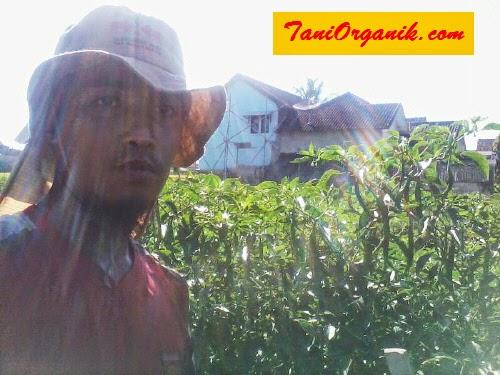 Gambar 2. Bapak Agus tengah berpose dengan tanaman cabainya yang berbuah lebat