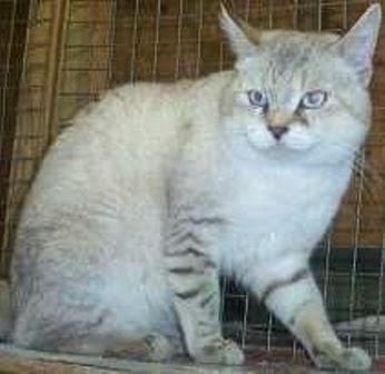 Informasi tentang Kucing Snow Bobs