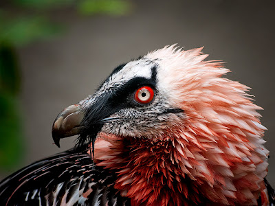 red bearded vulture