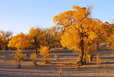 Gobi trees - Trees like these planted along the edge of the Gobi Desert make up much of China's Green Great Wall. (Photo Credit: Flickr) Click to Enlarge.