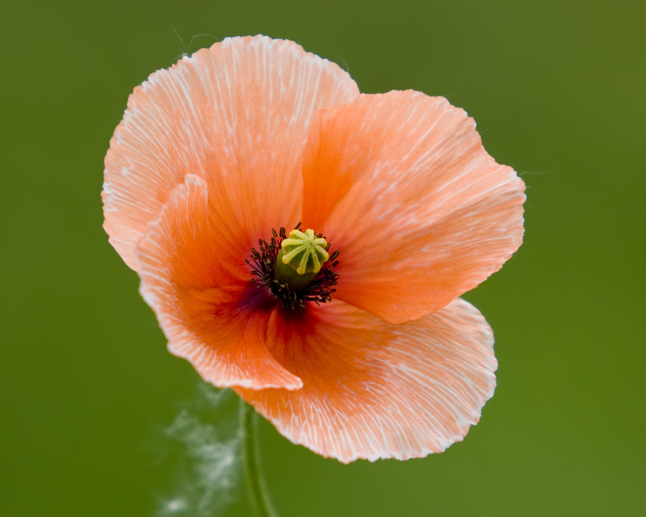 Poppy Good Witches Magickal Flowers And Herbs