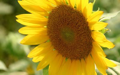 Beautiful Sunflower Widescreen Wallpaper 6