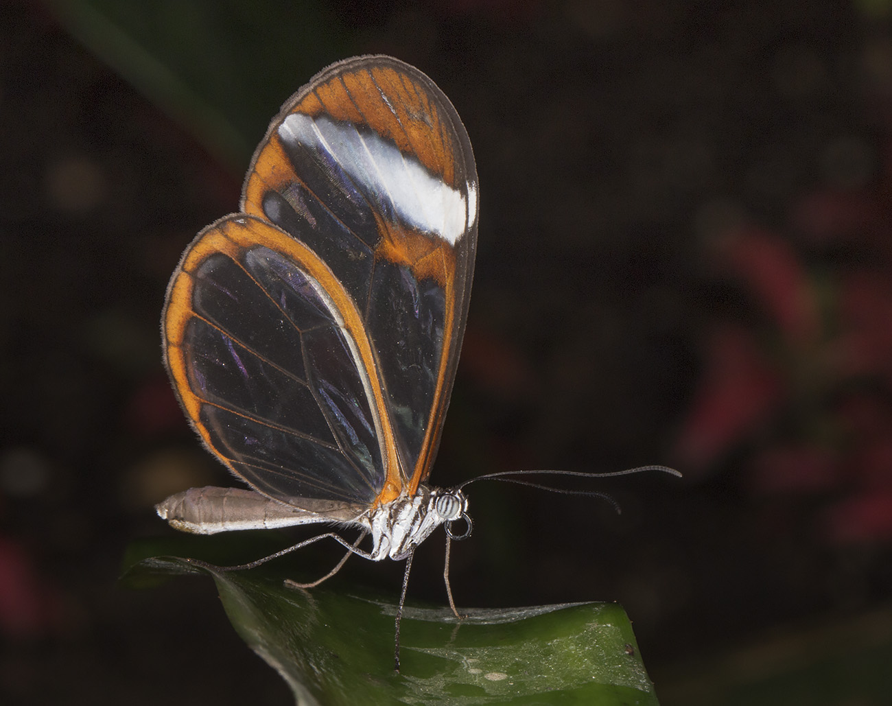 Glasswing, Greta oto.  Wisley Gardens, Butterflies in the Glasshouse, 10 February 2015.