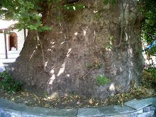 Platane géant