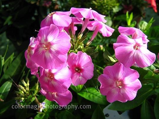 Phlox paniculata-garden phlox picture