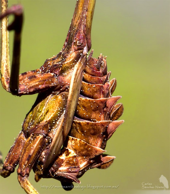 Detalle del abdomen de una Empusa pennata hembra.