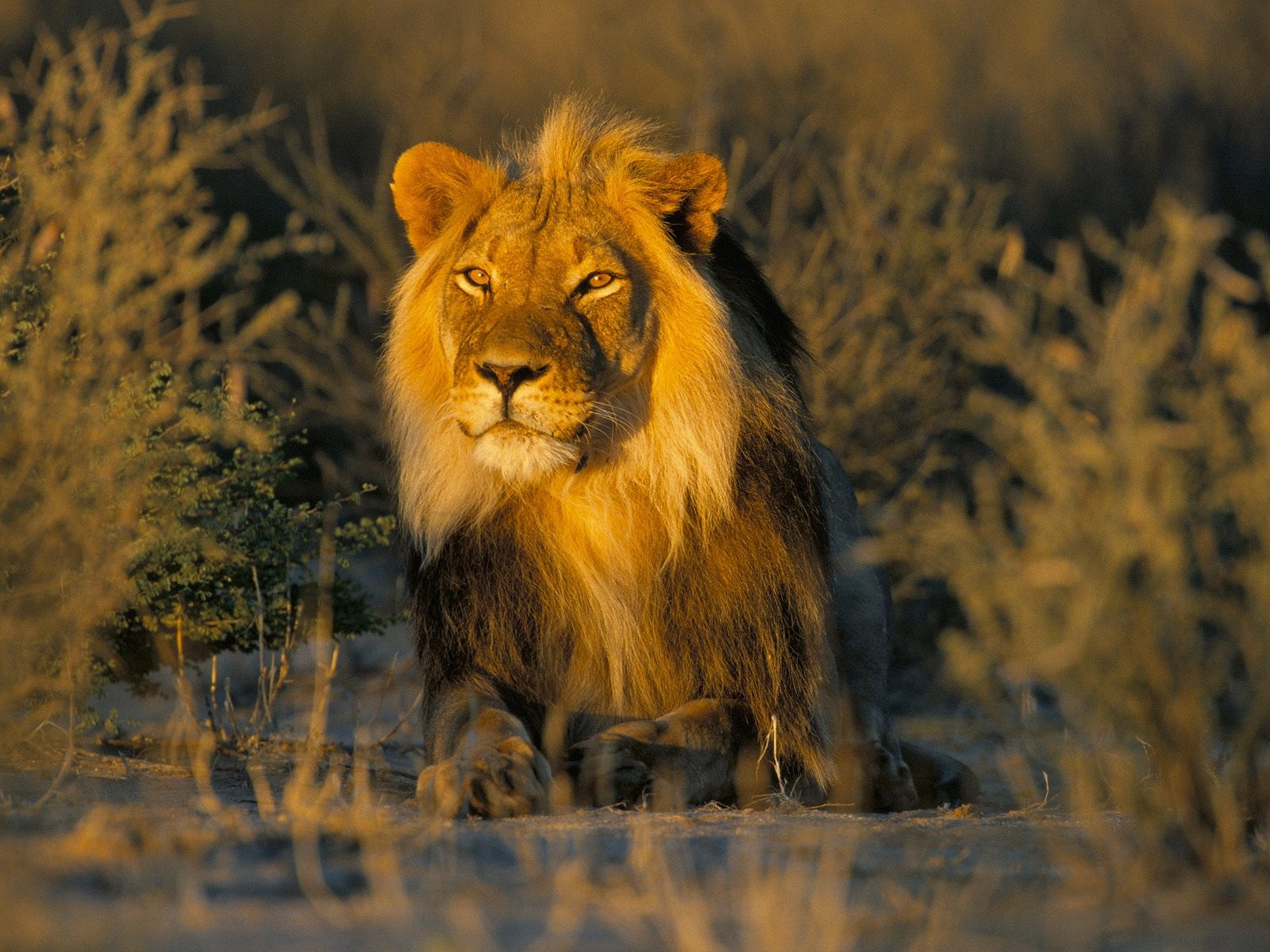 Wonderful Wallpaper Lion Facebook - MixoPlanet+%252811%2529  Pictures_488548.jpg