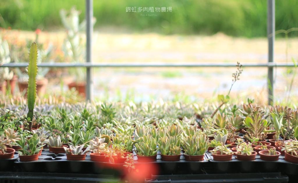 南投埔里景點,錦虹多肉植物農場-15