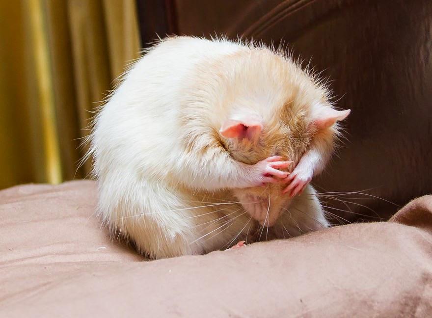 ratos fofos: rato a lavar-se