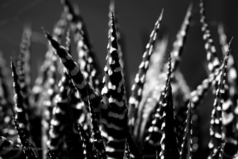 Haworthia attenuata in black and white