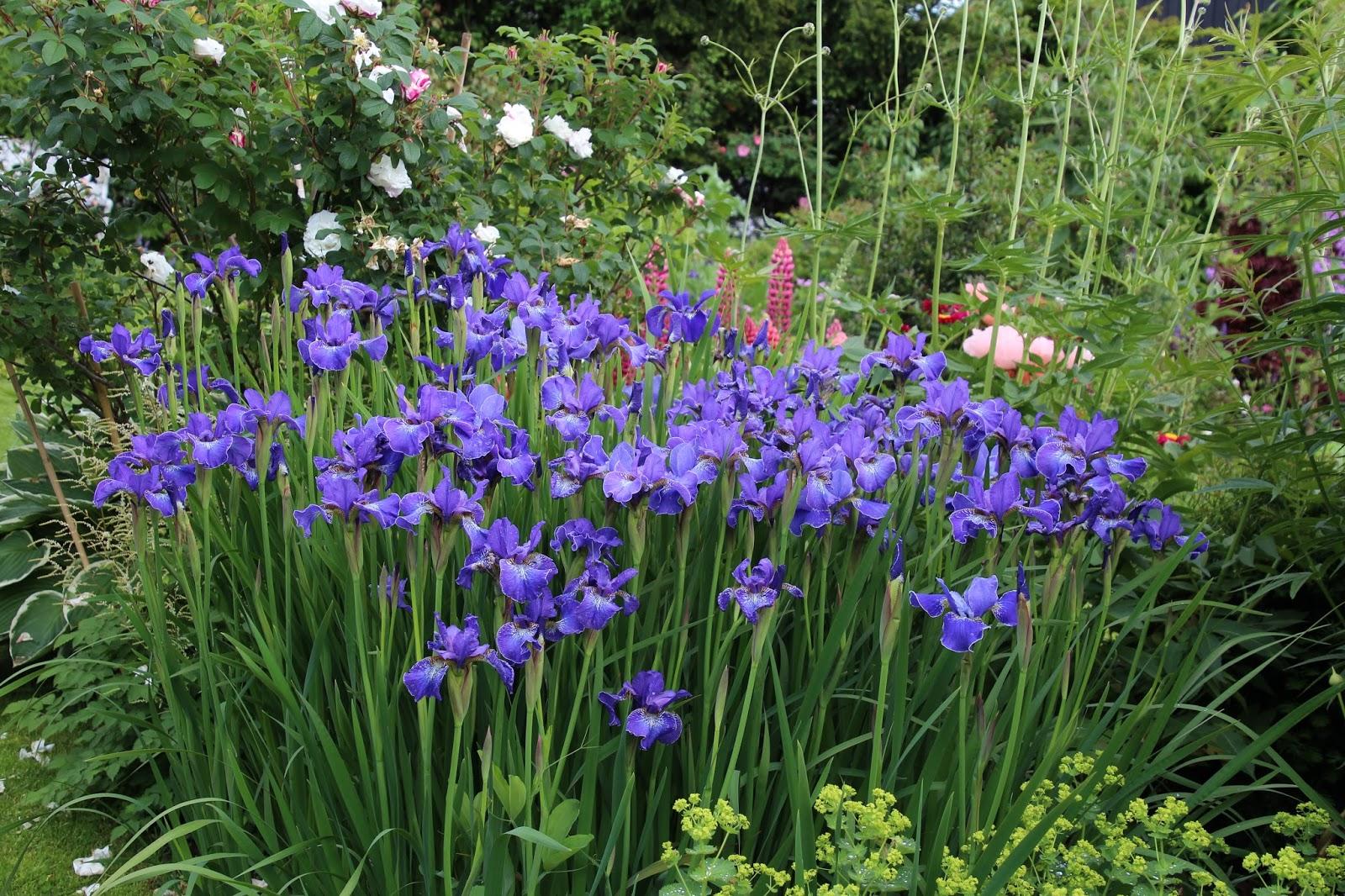 strandiris iris sibirica
