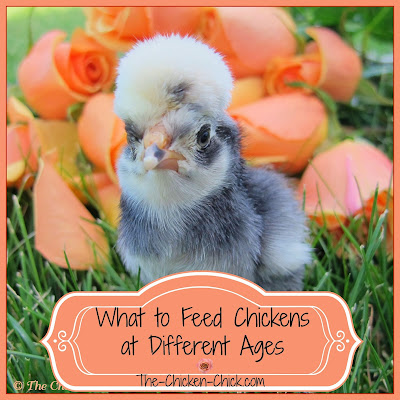 Chickens' diets are different at various ages, here's what to feed them at each stage.