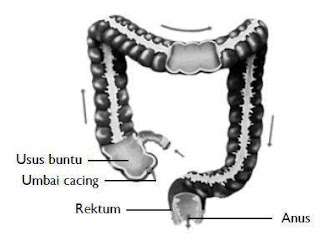 Usus+Besar+Organ+Pencernaan Organ Organ Pencernaan