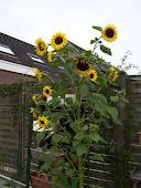 zonnebloemboom hihi