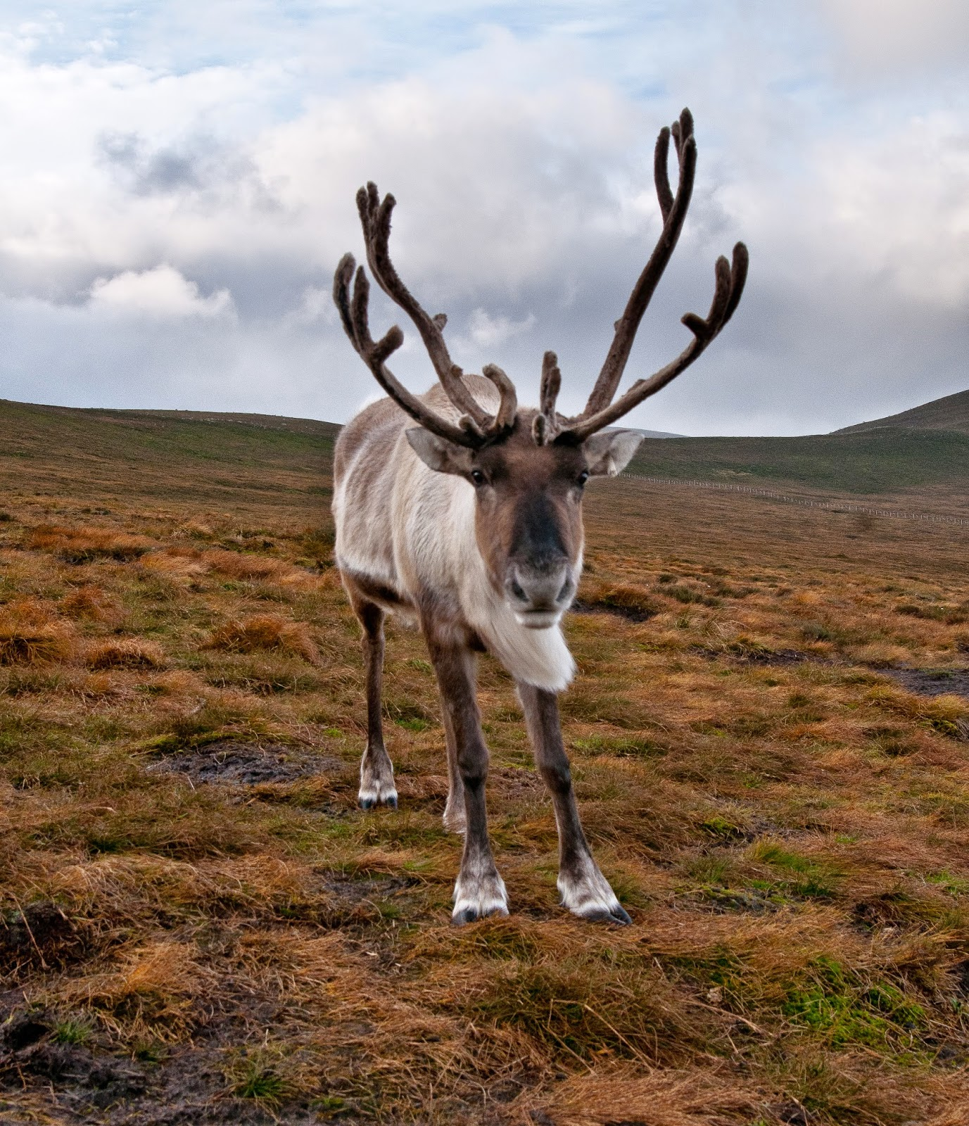 Interesting Facts About Reindeer