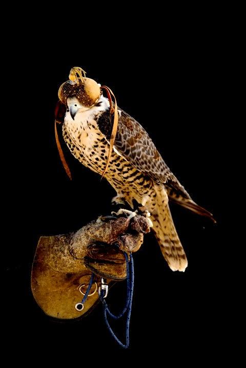 Falconry...