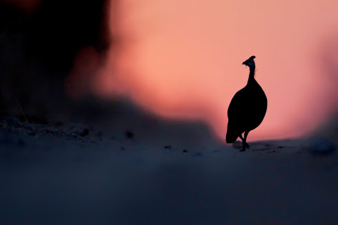 Helmeted guineafowl at sunset