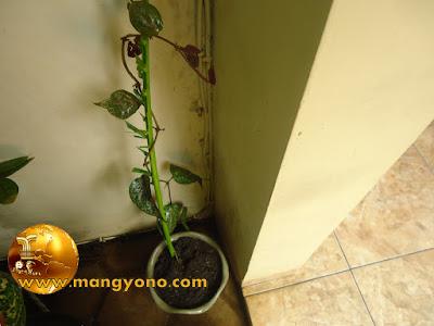 FOTO : Tanaman sirih yang baru ditanam disimpan ditempat teduh