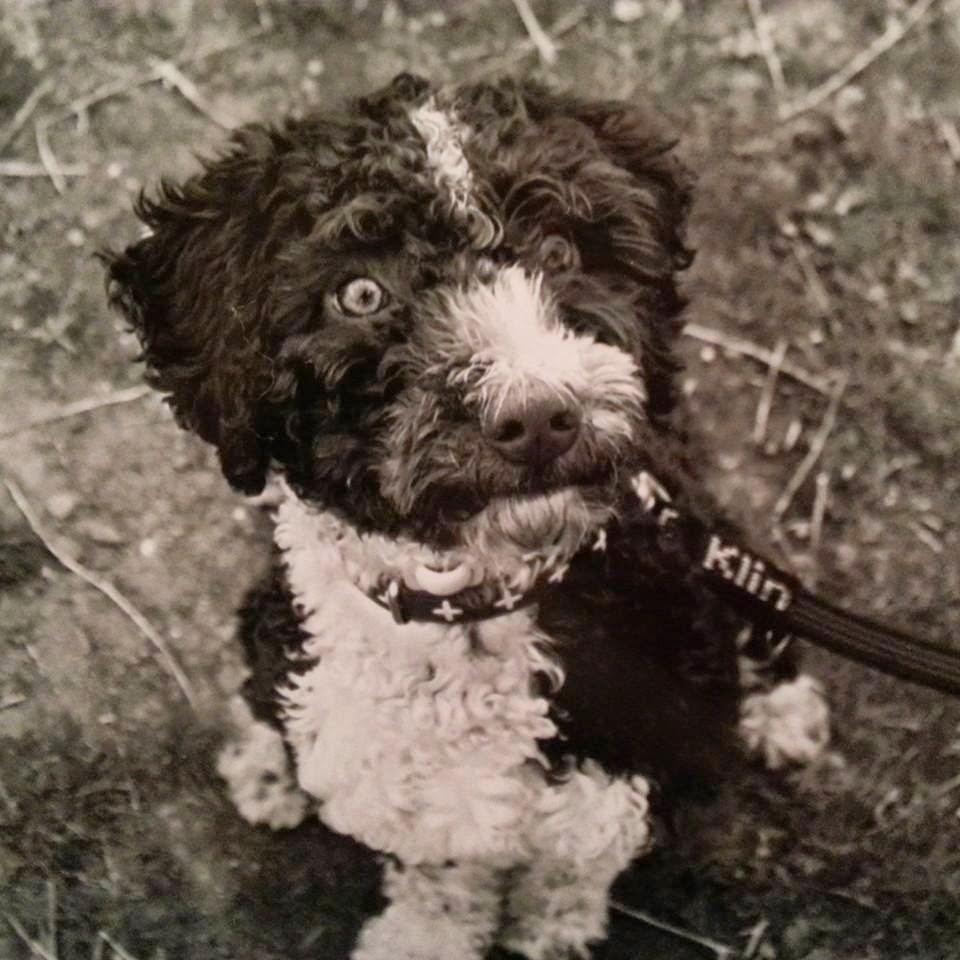 Perro de aguas cachorro